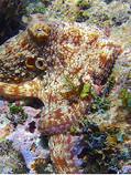 Caribbean Reef Octopus ©DMR- .jpg