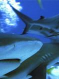 Reef Sharks- ©DanRab .jpg