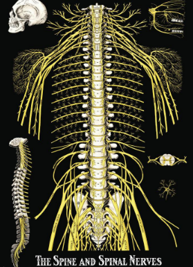 What are Spinal Nerves?