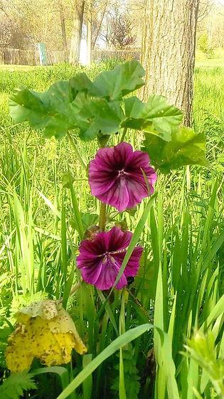 fleurs violette.jpg