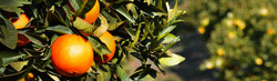 ACG-fruit-exporters-oranges-2