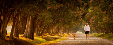 A tourism advertisement of an older man takes a sunset stroll down a tree lined boulevard with his golden retriever.