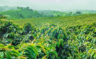coffee-orgin-guatemala-1.jpg