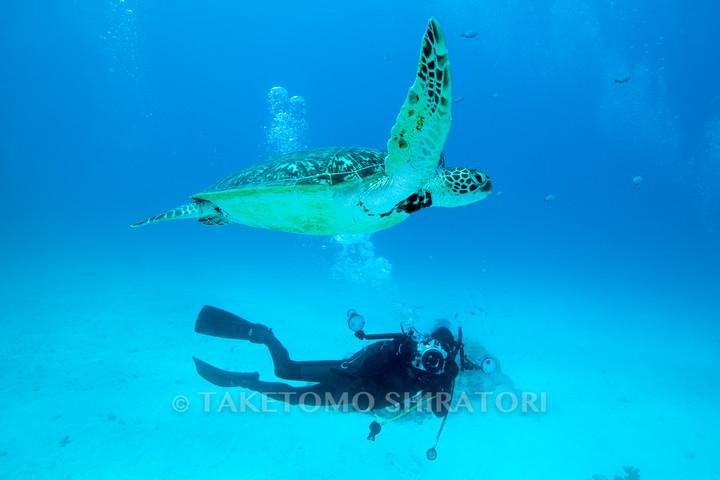 無防備なアオウミガメ(慶良間諸島)