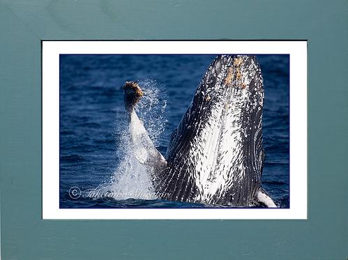 ザトウクジラのブリーチング(0147031501_0266)