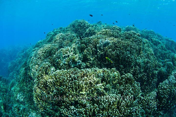 アオサンゴの群生(沖縄本島)