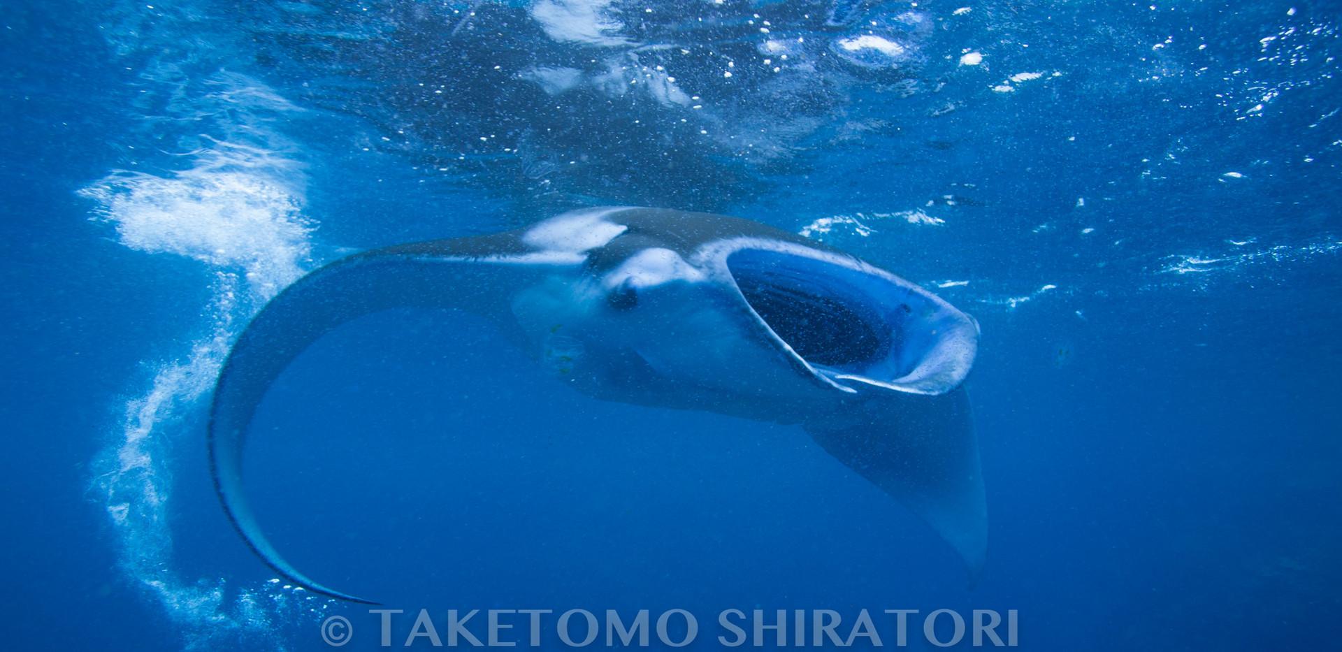 プランクトンを食すマンタ(慶良間諸島)