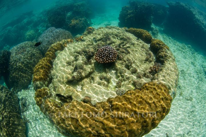マイクロアトールのサンゴ(沖縄本島)