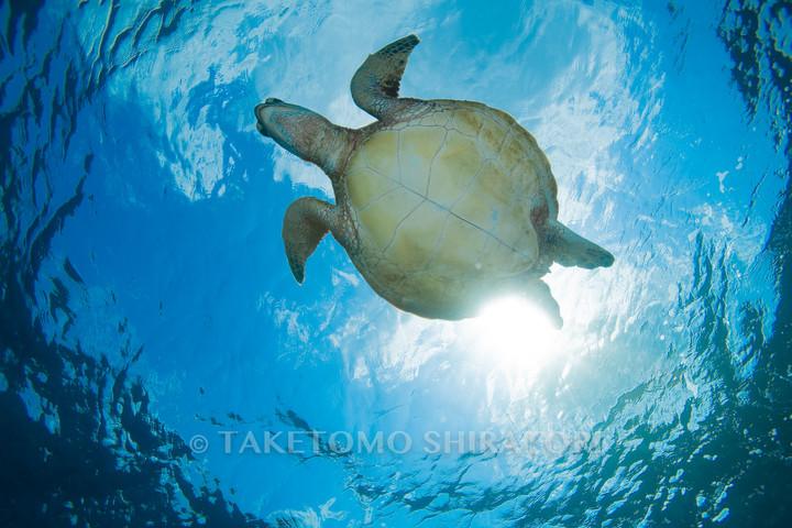 飛ぶアオウミガメ(慶良間諸島)