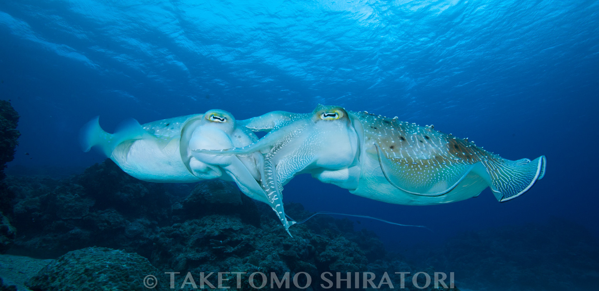 愛し合うコブシメ(慶良間諸島)