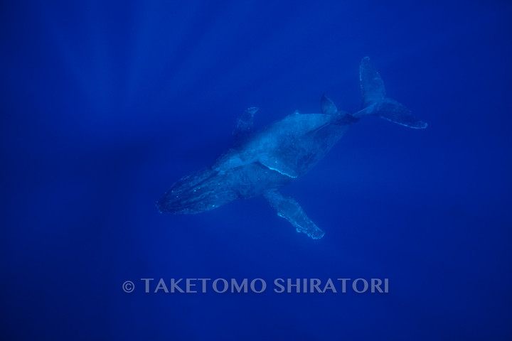 水底で停止する母子クジラ(沖縄本島)