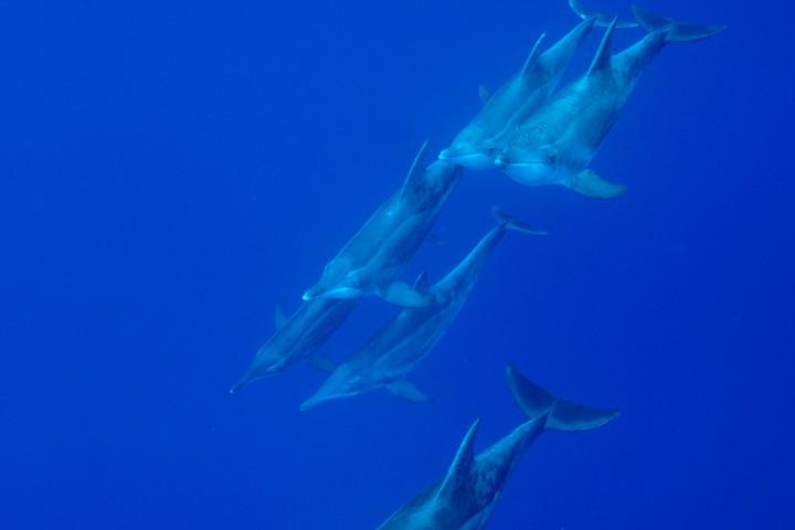 シワハイルカの群れ(沖縄本島)