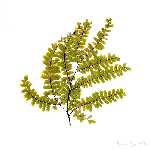 Painel Botânico Avenca - 25026