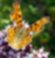 Comma butterfly on wild marjoram.jpg