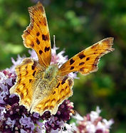Comma butterfly on wild marjoram.jpg