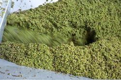 monteru-grapes-Press-1.jpg