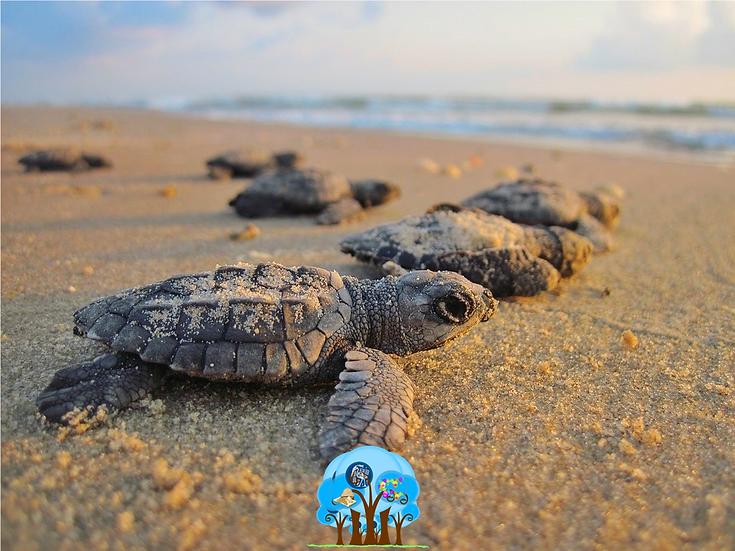 Liberación de Tortugas ¡Mira la Vida!