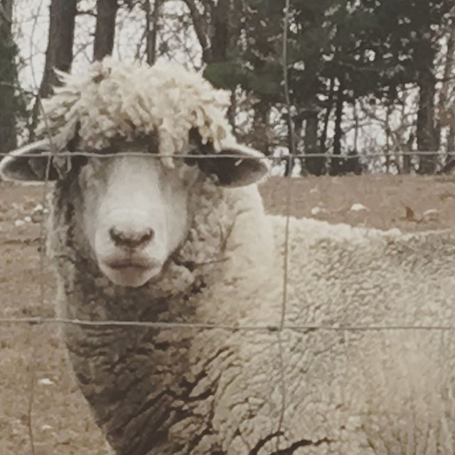 I just love Curley! And he loves having his photo taken!  #thefarmex #agritourism #arkansas #sheep #