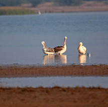 Pelicans in touch