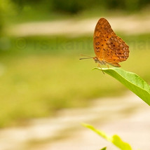A brown butterfly