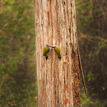 Streak-throated Woodpeckers