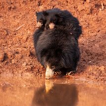 Sloth Bear and its cubs