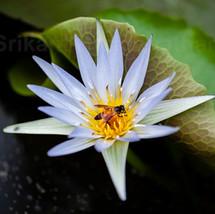 Bee romances the Lily