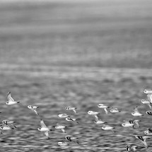 swallows-desert-b&w.jpg