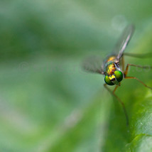 Macro shot of a long-legged Fly