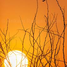 A Drongo enjoys the Sunset