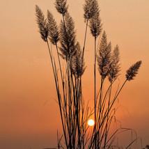 Sunset amidst tall grass