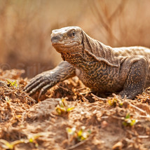 A Monitor Lizard comes out of its lair in the forests of Bandipur.
