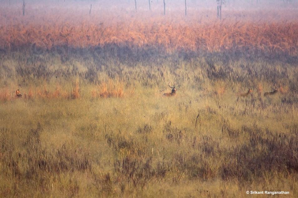 marsh-deers.jpg