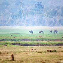 Elephants on a misty morning