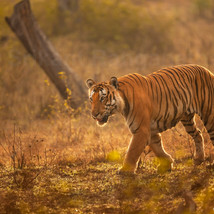 Tiger on prowl