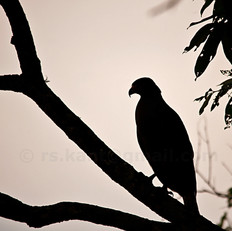 Crested Serpent Eagle in a silhouette.
