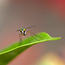 Long-legged Garden Fly