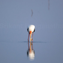 Painted Stork with its catch