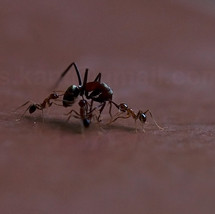 Black Ant and the Red Ants