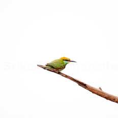 A Sub-adult Green Bee-eater