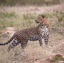 Leopard, up close.
