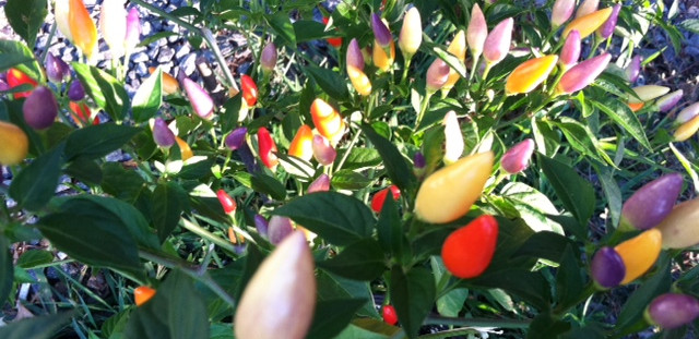 New Jersey Exotic Hot Peppers