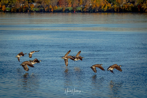 """""""Canada Geese In Flight"""""""