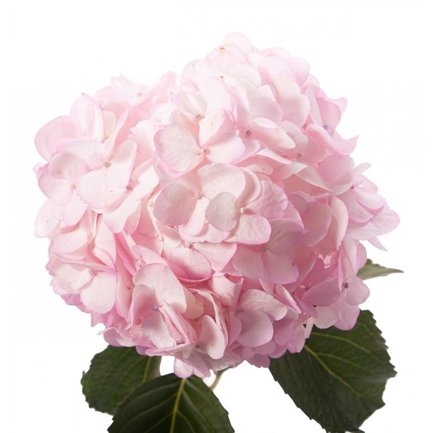 pinkpetitehydrangea_1_1