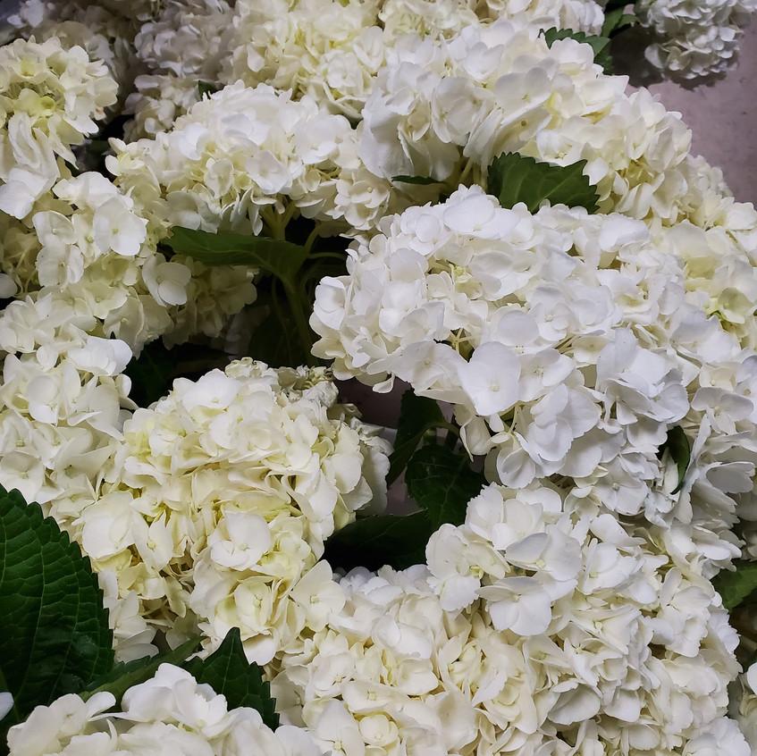 White hydrangea preparation