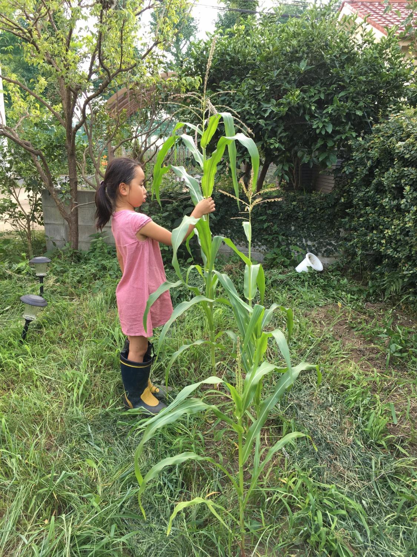 お庭にてトウモロコシを育てました
