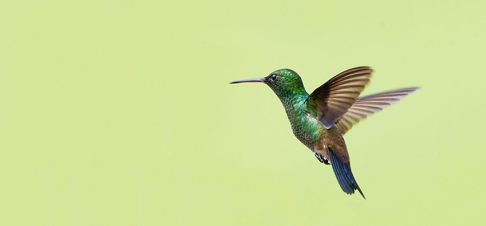 HUMMINGBIRD HOMEPAGE.jpg