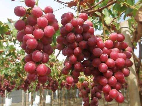 Globe Grapes (with seeds)