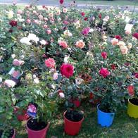 BIRCHGROVE ROSES