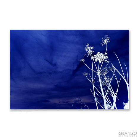 blue spectrum - hogweed